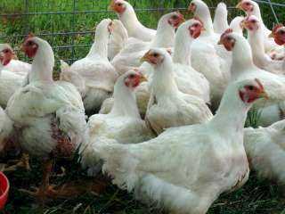ننشر أسعار الدواجن البيضاء اليوم