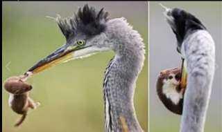معركة مثيرة بين سرعوب وطائر ضخم تشعل مواقع التواصل الاجتماعي