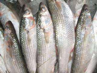 استقرار أسعار الأسماك .. والبورى يسجل 48 جنيه اليوم