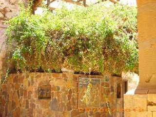 عندها سمع النبى موسى صوت الله ... حكاية الشجرة المقدسة التى لا تنبت إلا على أرض سيناء