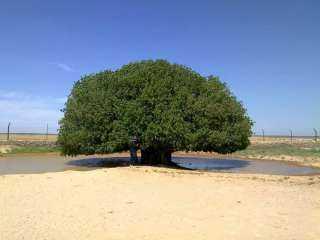مورقة حتي الآن.. تعرف علي أسرار شجرة استظل بها النبي