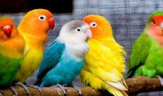 ما حكم تربية العصافير في القفص مع سقيها وإطعامها وعلاجها؟
