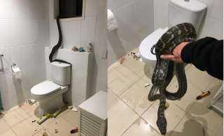 أطول ثعبان في العالم يهاجم عائلة ويدمر حمام منزلها.. إليك التفاصيل