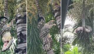 «تحدي الأقوياء».. لحظة ابتلاع ثعبان خطير حيوانًا كبيرًا بالكامل