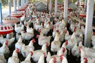 إتحاد منتجى الدواجن : تكلفة جرام الهرمون أغلى من ثمن دجاجة وزنها 2 كجم