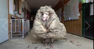 هرب إلى البرية لأول مرة بعد 5 سنوات.. تعرف على أغرب خروف في العالم