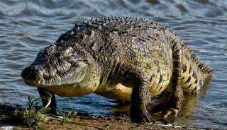 بعد اختفائه في ظروف غامضة.. العثور على صياد بين أنياب تمساح ضخم
